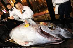"""Mặc định Chú cá ngừ siêu """"bự"""" trị giá 16… tỷ VNĐ"""
