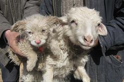 Đổ xô đi xem cừu đẻ ra… chó